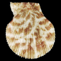 To Conchology (Talochlamys pusio SPECIAL COLOR)
