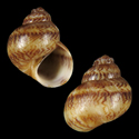 Phallomedusa solida