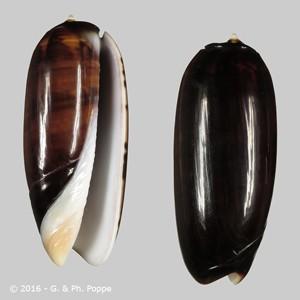 Oliva irisans f. fordii