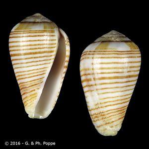 Varioconus fuscolineatus
