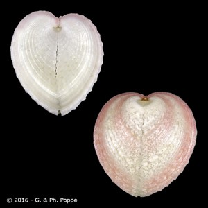 Corculum cardissa f. kirai