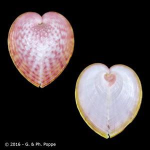 Corculum cardissa f. roseum