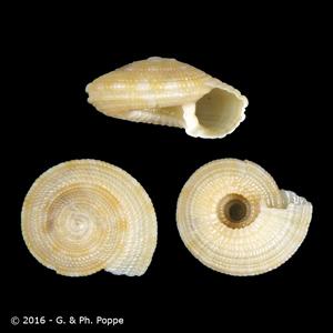 Heliacus fenestratus