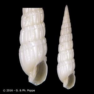 Terebra exiguoides WHITE