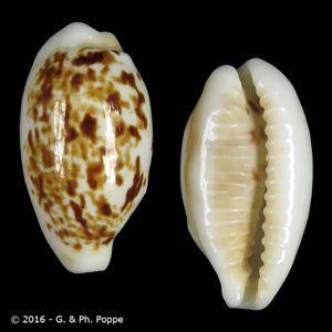 Eclogavena coxeni hesperina