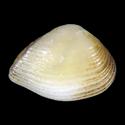 Corbula densesculpta