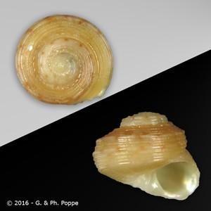 Homalopoma zephyrium