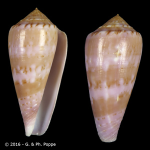 Asprella kinoshitai f. calliginosus