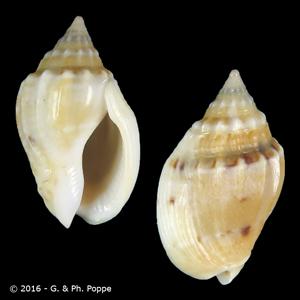 Cyllene desnoyersi lamarcki