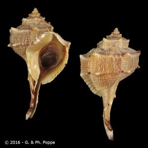 Bolinus brandaris f. cagliaritanus
