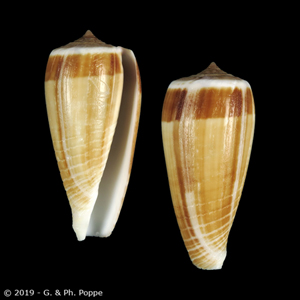 Phasmoconus radiatus FAKE