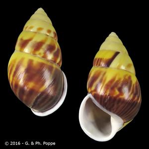 Amphidromus perversus perversus f. interruptus SINISTRAL