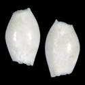 Cadulus chuni