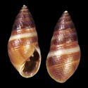 Allochroa layardi