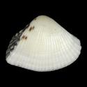 Hemidonax donaciformis WHITE