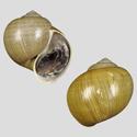 Ampullaria violacea