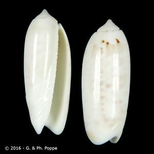 Oliva irisans f. albescens