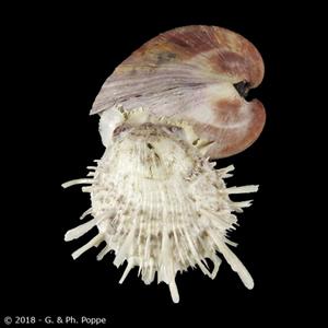 Spondylus echinatus with Cucullaea labiata labiata