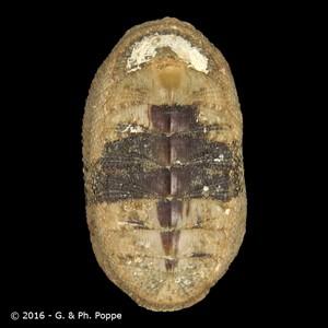 Ischnochiton caliginosus