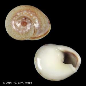 Cyclope neritea