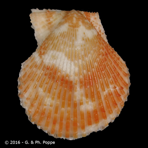 Mimachlamys varia f. aurantiacus