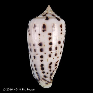 Asprella blanfordianus LARGE