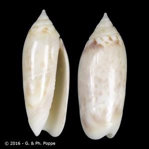 Agaronia boavistensis