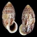 Cerion grilloensis