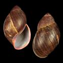 Megalobulimus bertae