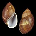 Megalobulimus elisae