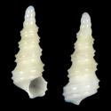 Cyclonidea dondani