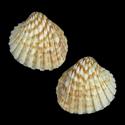 Cardites canaliculatus