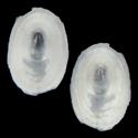 Cocculina cingulata