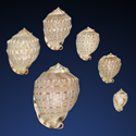 Cassis fimbriata