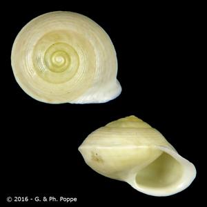 Helicina variabilis