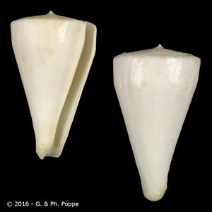 Kioconus sugimotonis
