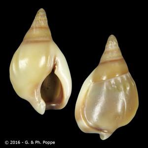 Nassarius glabratus