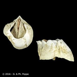 Amphibalanus eburneus