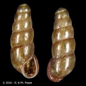 Platyla callostoma