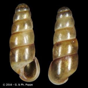 Platyla elisabethae