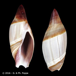 Amalda similis