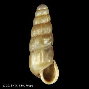 Renea spectabilis
