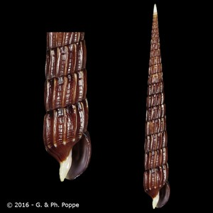 Clathroterebra mactanensis
