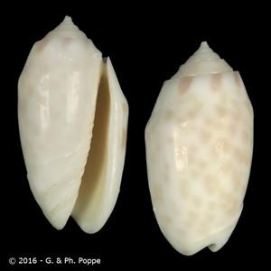 Oliva amethystina f. annulata