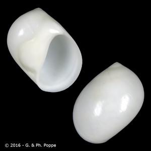 Polinices flemingianus
