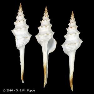 Fusinus tuberculatus tuberculatus GIANT