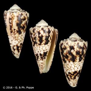 Conus nicobaricus FREAK