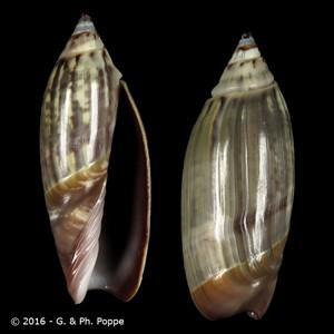 Agaronia ancillarioides cf.