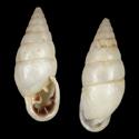 Cyclodontina punctatissima