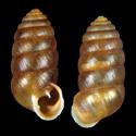Orcula gularis